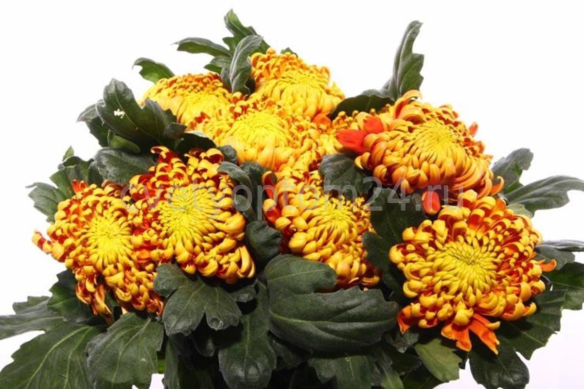 фуэго хризантема фото