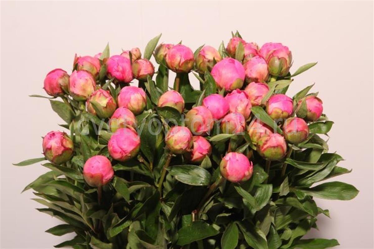 Пионы цветок краснодар